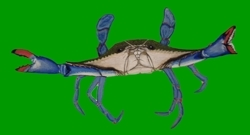Bluecrab_preview