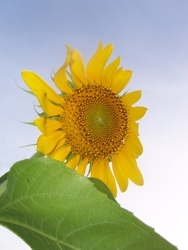 Sunflower_lr_preview