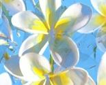 Frangipani_blue_thumb