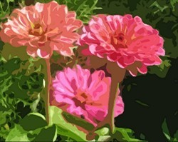 3_tall_zinnias_preview