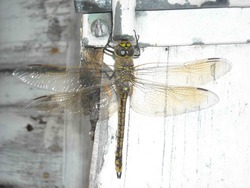 Dragonfly_preview