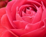 Rose_rose_bloom_bloom_221155_thumb