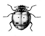 Ladybug_thumb