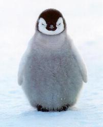 Penguin-chick_preview