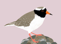 Shore_plover_tiny_preview