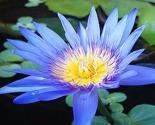 Blue-lotus-attar-2_thumb