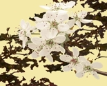 Pear_blossoms_yellow_and_variations_tiny_thumb