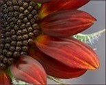 Red_sunflower_thumbnail_preview