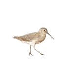 Sanderlingprofpic_thumb