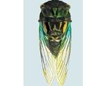 Cicada_blgr_thumb
