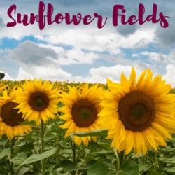Sunflower_fields__1__preview