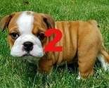 Bulldog-pup2_thumb