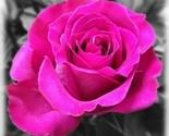 Pinkrose_thumb