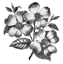 Free-vintage-images-dogwood-flowers-graphicsfairy_preview