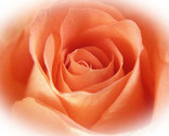 Rose_thumb