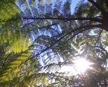Sun_fern_thumb