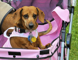 Ginger_at_the_ne_ohio_dachshund_picnic_preview