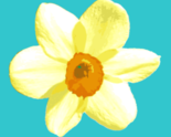 1657404_daffodil_thumb