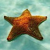 Starfish-200_preview