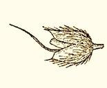 Alopecurus_carolinianus_sm_preview