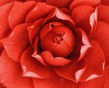 Camellia_flower_thumb