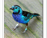 Tanager_thumb