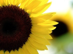 Sunflower_preview