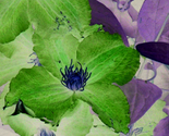 Clematis_spoonflower_thumb