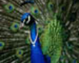 Jealous_peacock_avatar_edited-1_thumb