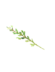 Thyme_preview