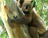 koalalady